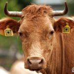 iot_cow.jpg